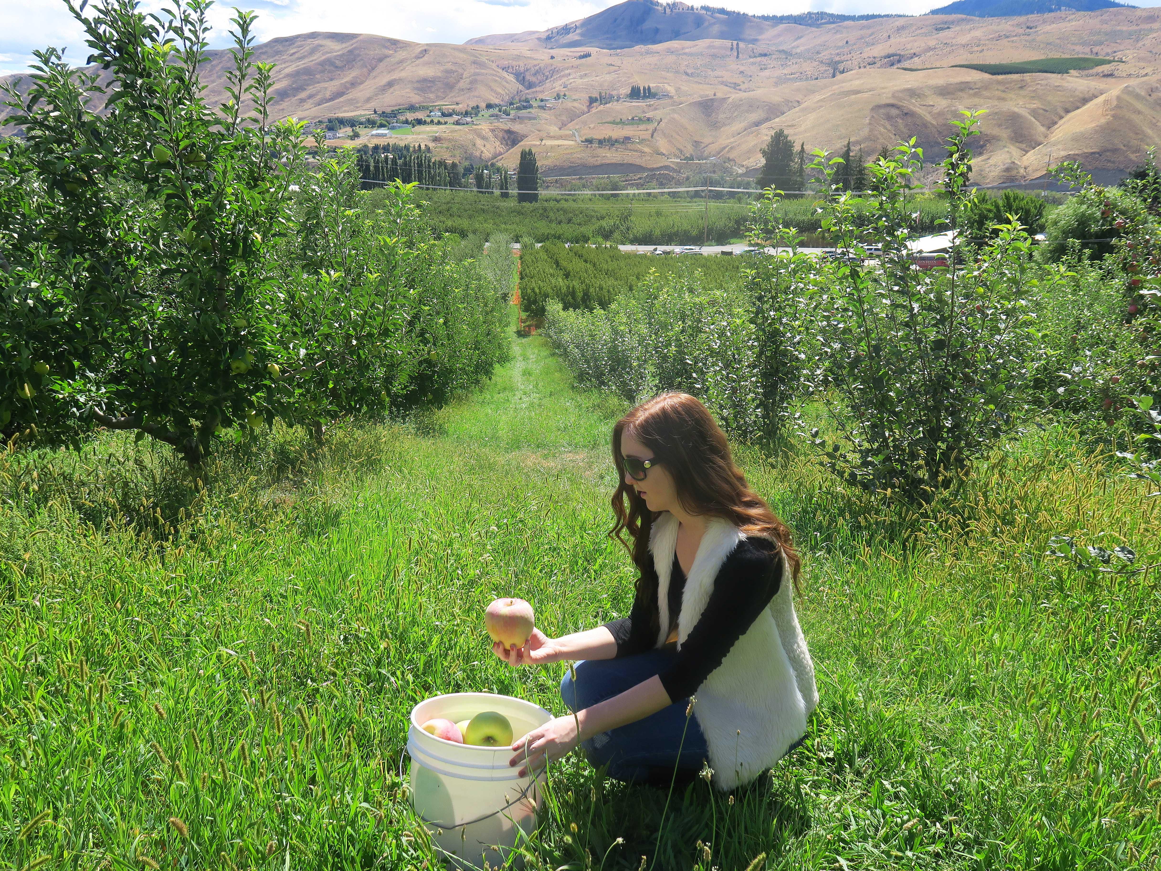 Apple Picking in the Wenatchee Valley